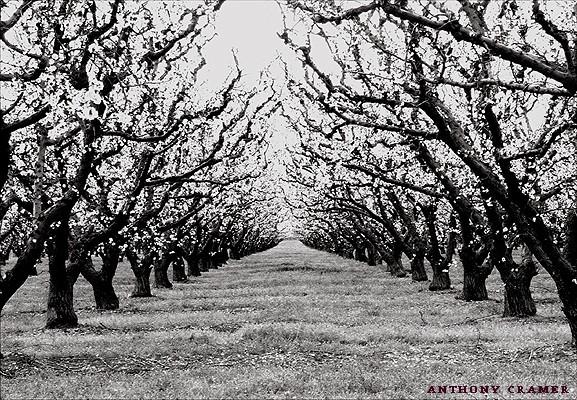 - Cheery blossom (2001 Anthony Cramer)
