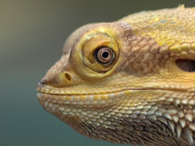 Smiling lizard - A smiling bearded dragon with bloodshot eyes. ( � 2009, Media Mainline)