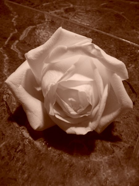A Discarded Rose -  (photo by Antonio Cassone)