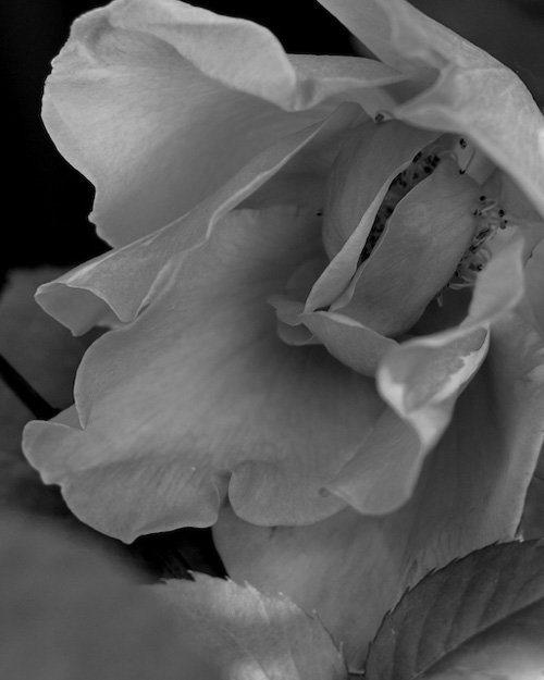 a rose in the wind Mary Durante Wehrhahn by Mary Durante Youtt
