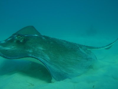 Southern Ray