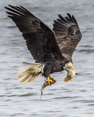 Look what I caught Bald Eagle looking eye to eye to his catch.