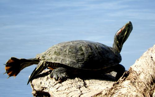 Red-eared slider Small turtle sunning