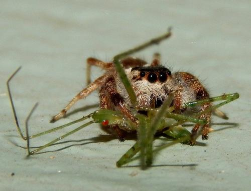 Tan Jumping spider ... feeding on a Assassin bug nymph