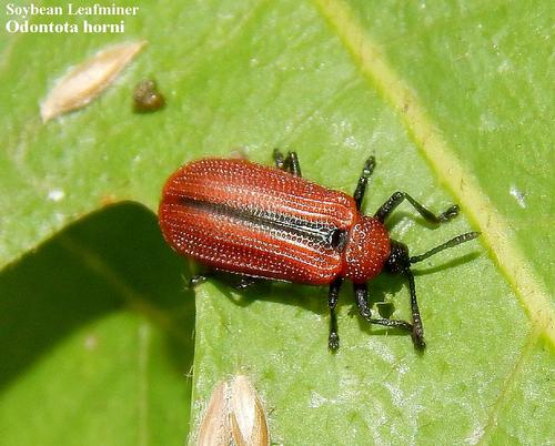 Soybean Leafminer An insect pest on soybeans