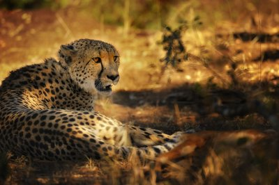 Fine Art Cheetah after the hunt in Africa